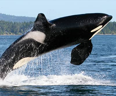 orca killer whale - Picture Of A Whale