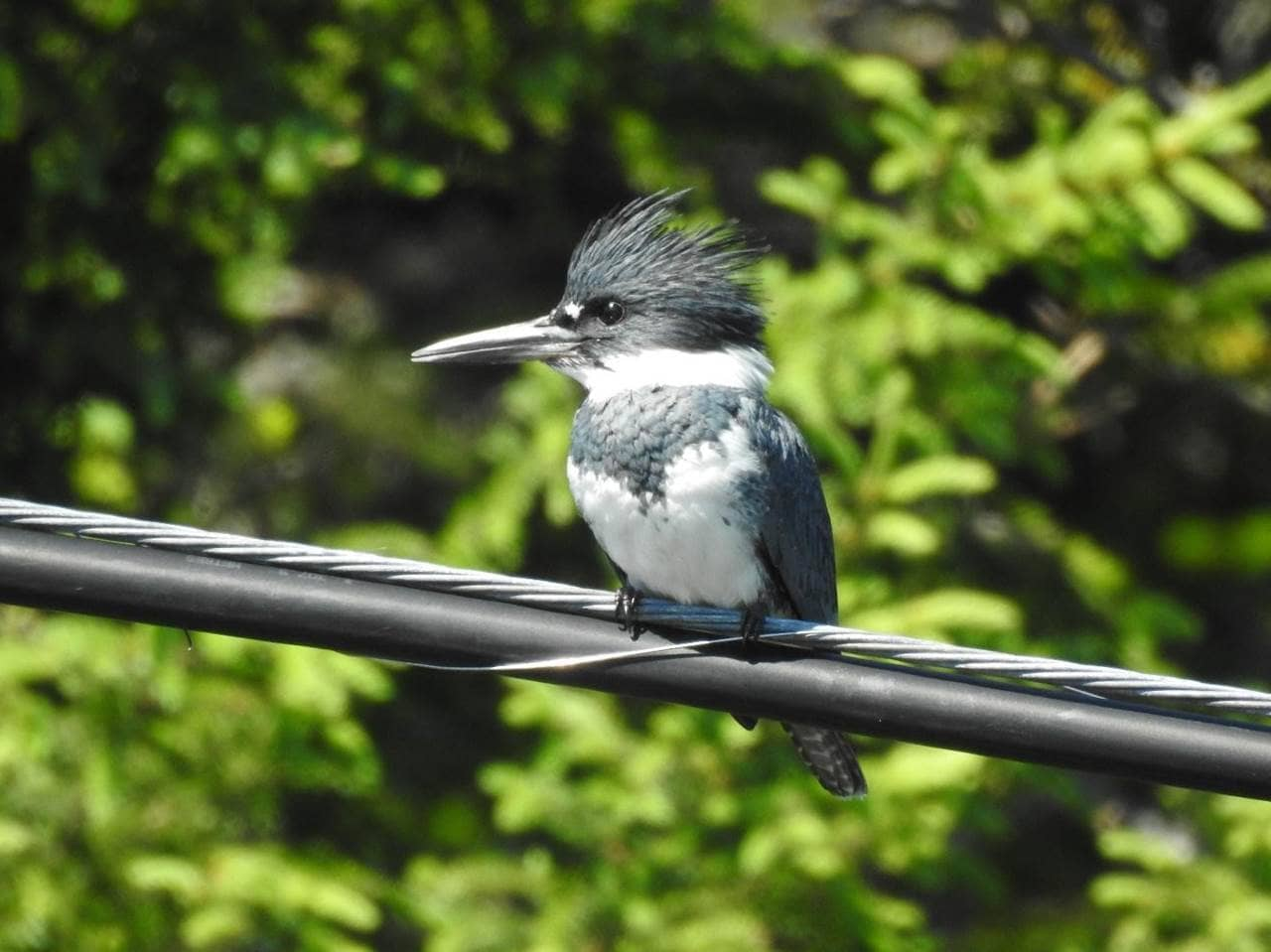 A Belted Kingfisher in Summerford, NL