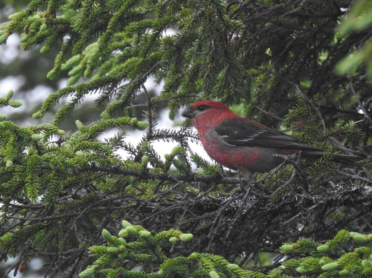 A male Pine Grosbeak in a spruce tree near the town of La Scie, Newfoundland and Labrador