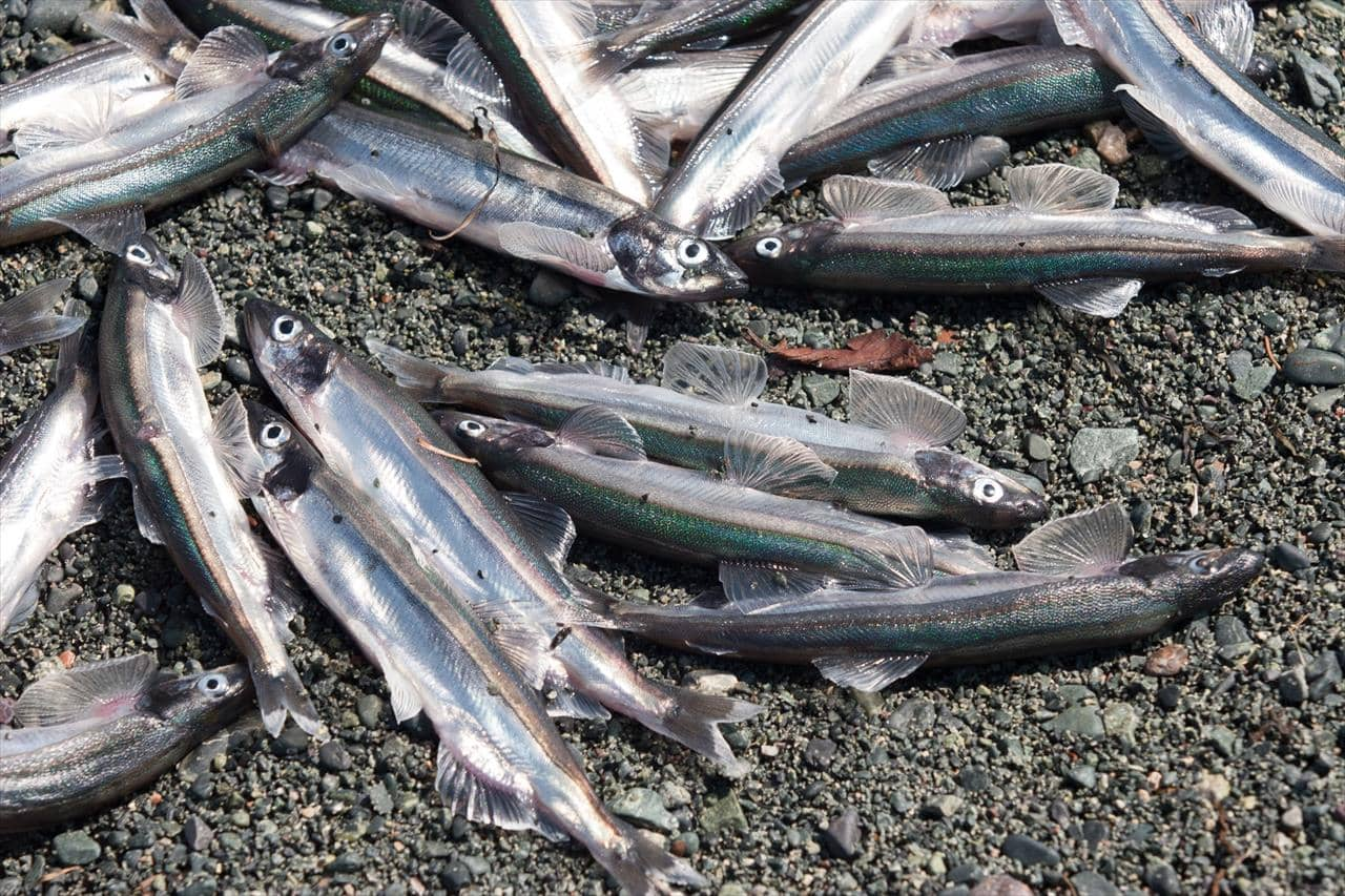 Capelin on the beach