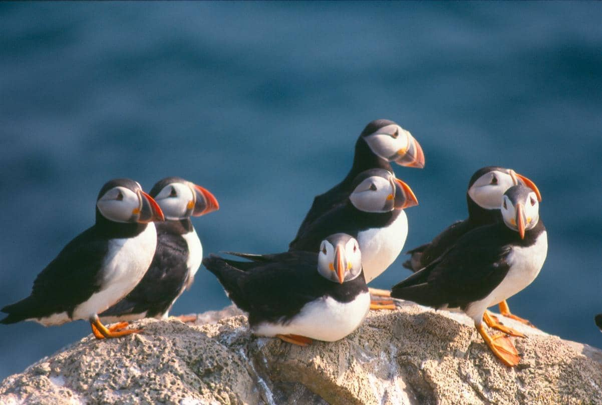 Puffins at the Witless Bay Ecological Reserve