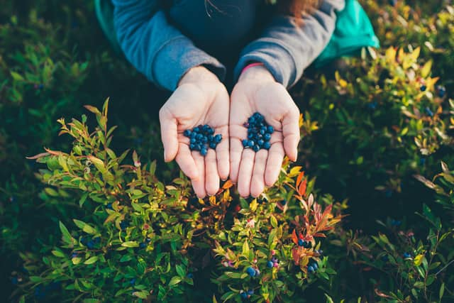 Fall Berry Picking from Gun Hill Trail