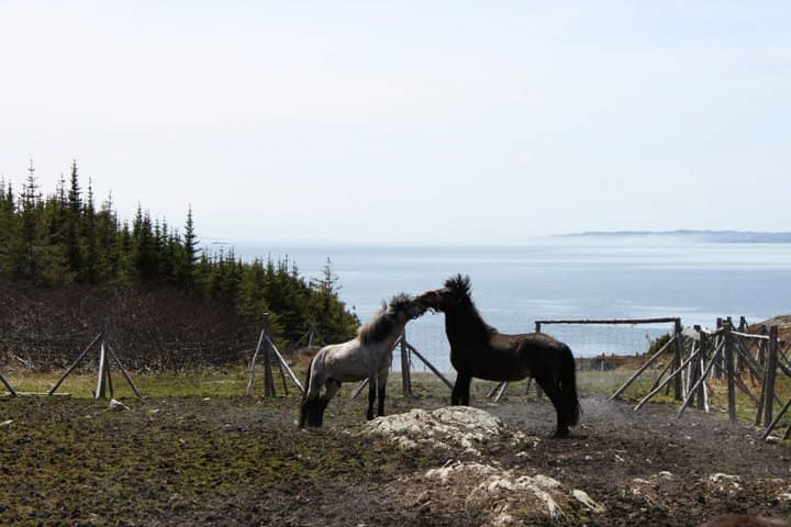Horses on Change Island