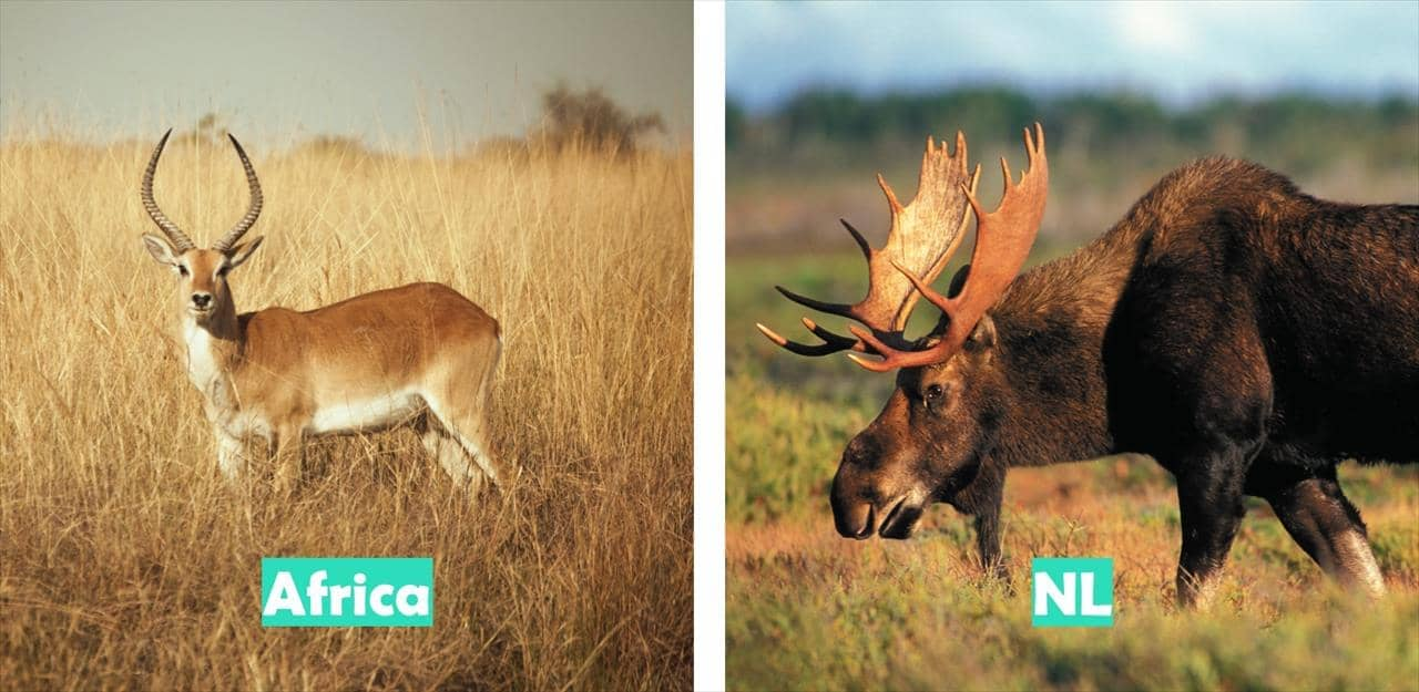 Africa (Antelope pictured) vs Newfoundland & Labrador (Moose pictured)